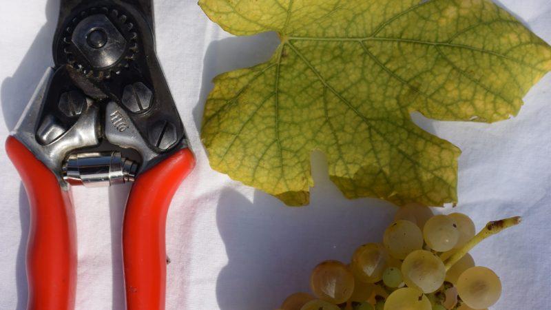 Zastúpenie odrôd viniča v račianskom chotári